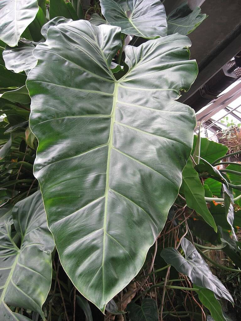 Philodendron Maximum