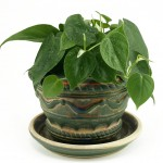 Proper Care and Feeding of the Philodendron