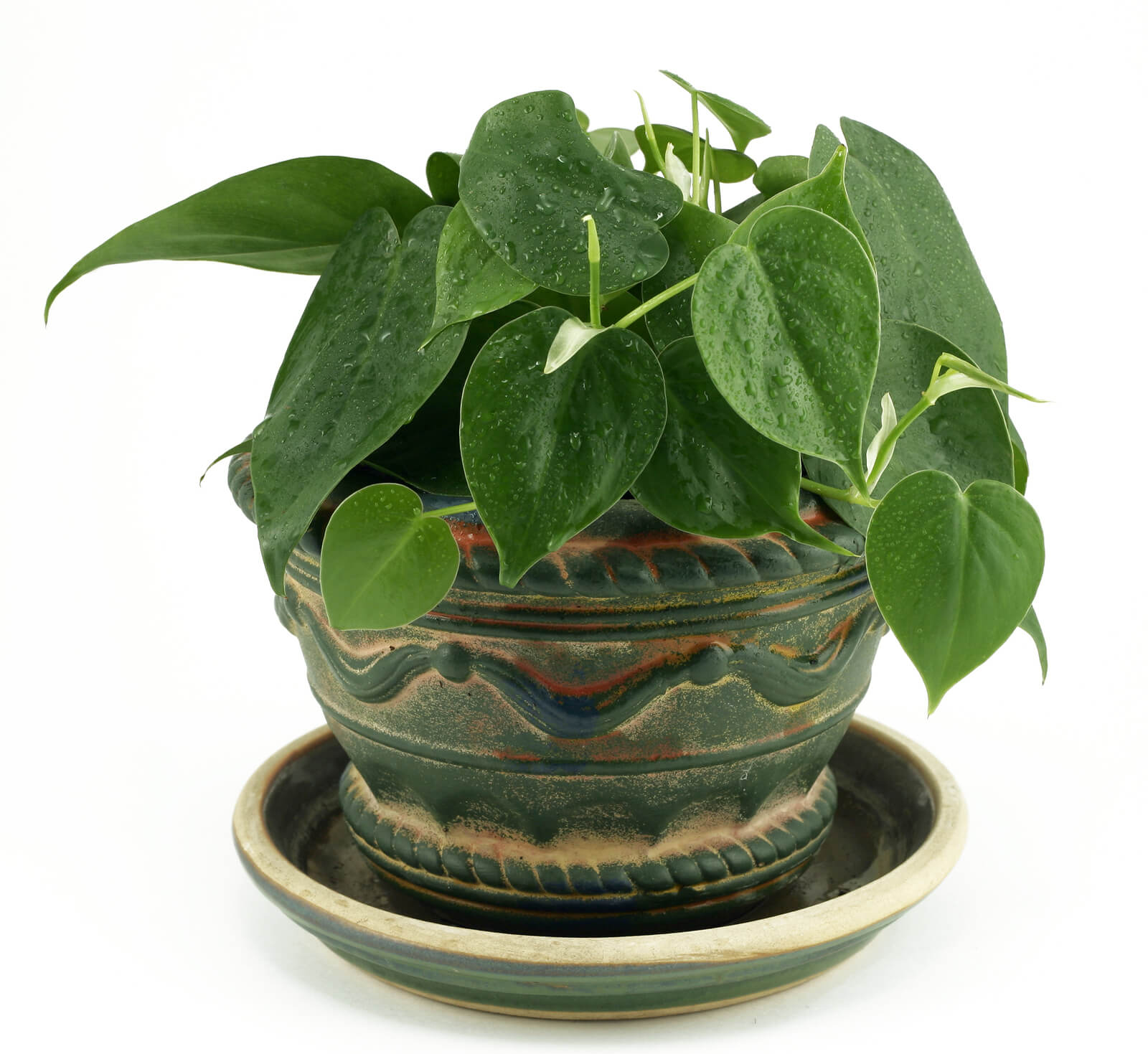 proper care and feeding of the philodendron - Tropical House Plants
