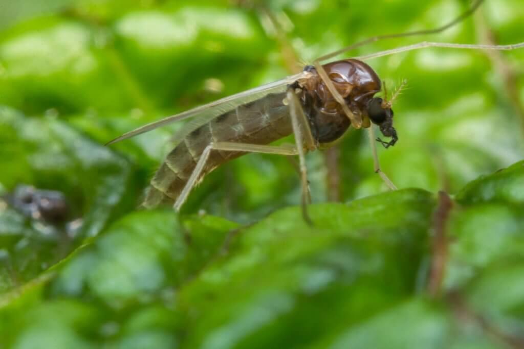gnat on leaf